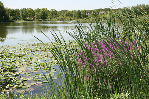 Wetland buffer with purple loostrife in Plymouth