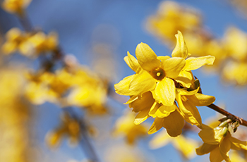 Plymouth Tree and Shrub Sale - Forsythia plant