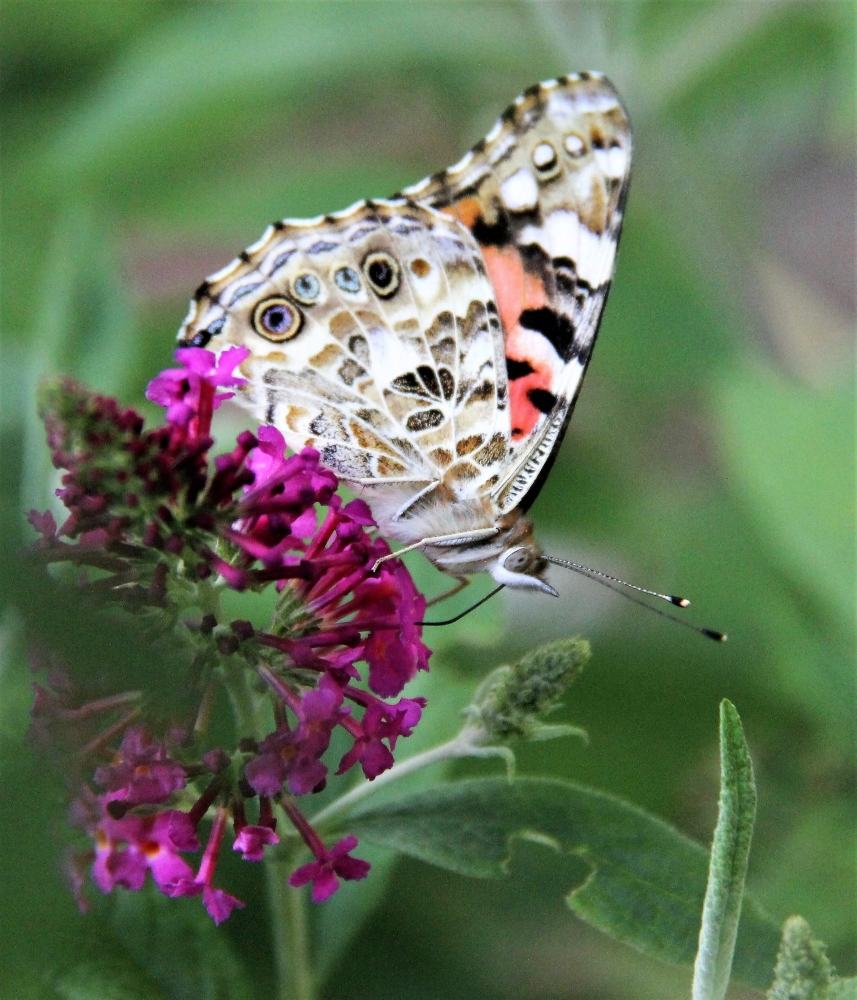 """Painted Lady"" by Gloria Rice"