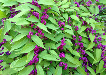 Issai Beautyberry plant