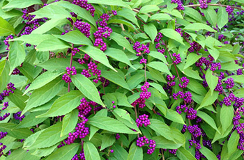 Issai Beautyberry featured in Plymouth's tree and shrub sale