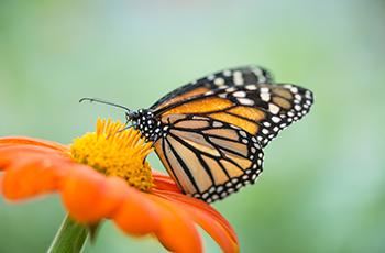 Monarch butterfly landing on flower